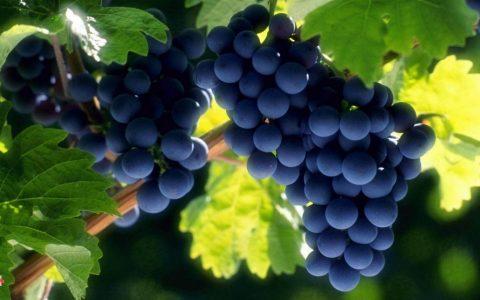 العنب وفوائده المتنوعة
